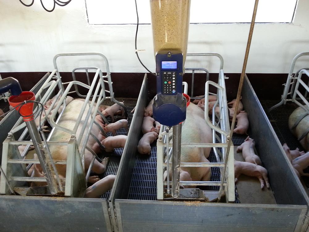 Sistema de alimentación electrónico con pienso en seco para gestación y parideras